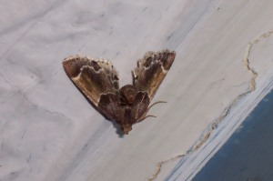 Meal Moth (pyralis farinalis)