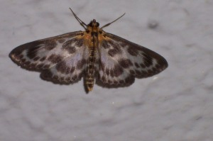 Small Magpie (eurrhypara hortulata)