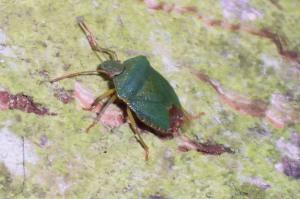 Greeen Shieldbug